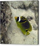 Raccoon Butterflyfish Acrylic Print