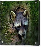 Raccoon In A Log Acrylic Print