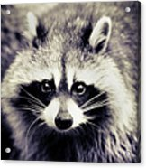 Raccoon Looking At Camera Acrylic Print