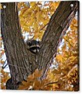 Raccoon Nape Acrylic Print