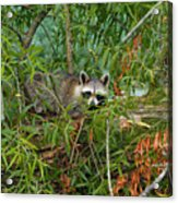 Raccoon Napping On Log Acrylic Print
