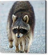 Raccoon On The Prowl Acrylic Print