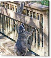 Raccoon Shenanigans Acrylic Print
