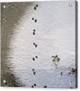 Raccoon Tracks On Palouse River Acrylic Print
