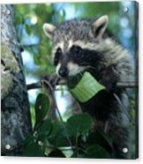 Raccoon--up We Go Acrylic Print