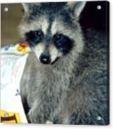 Raccoon1 Snack Bandit Acrylic Print