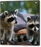 Racoons On The Roof Acrylic Print