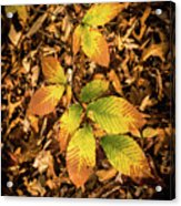Radiant Beech Leaf Branches Acrylic Print