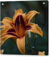 Radiant Lily Acrylic Print