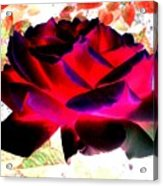 Radiant Red Rose Acrylic Print