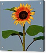 Radiant Sunflower Acrylic Print