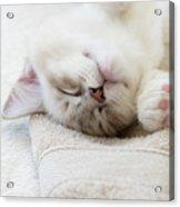 Ragdoll Kitten Asleep Acrylic Print