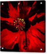 Raging Red Hibiscus Acrylic Print