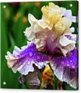 Rain Coated Multi Colored Iris Acrylic Print