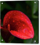Rain Coated Red Anthurium Acrylic Print