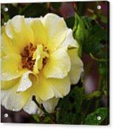 Rain Coated Yellow Rose Acrylic Print