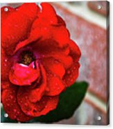 Rain Covered Red Rose Acrylic Print