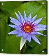 Rain Drenched Blue Lotus In Grand Cayman Acrylic Print