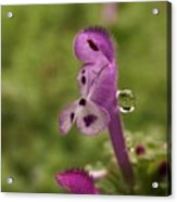 Rain Drop Olympics On Dead Nettle Flower Acrylic Print