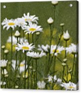 Rain Drops On Daisies Acrylic Print
