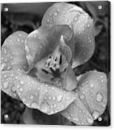 Rain Kissed Rhine Flower Acrylic Print