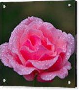 Rain Spattered Rose Acrylic Print