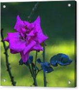 Rain Wet Rose 2 Acrylic Print