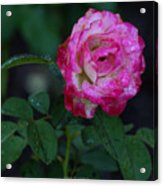 Rain Wet Rose Acrylic Print