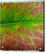 Rainbow Coleus 1 Acrylic Print