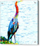 Rainbow Heron Acrylic Print