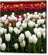 Rainbow Of Tulips Acrylic Print
