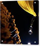 Raindrops From Sunflower Petal Acrylic Print