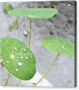 Raindrops On A Nasturtium Leaf Acrylic Print