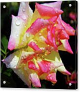 Raindrops On A Rose Acrylic Print