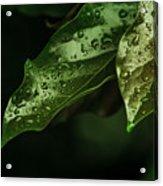 Raindrops On Avocado Leafs Acrylic Print