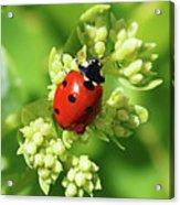 Raindrops On Ladybug Acrylic Print