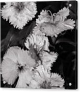Raindrops On Petals Monochrome Acrylic Print