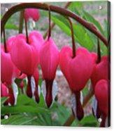 Raindrops On Pink Bleeding Hearts Acrylic Print