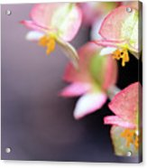 Raindrops On Rare Begoinia Blooms In Macro Acrylic Print