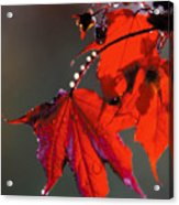 Raindrops On Red Leaves Acrylic Print