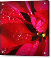 Raindrops On Red Poinsettia Acrylic Print