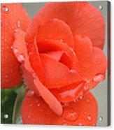 Raindrops On Roses Acrylic Print