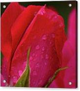 Raindrops On Roses Acrylic Print by Valeria Donaldson