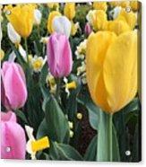 Raindrops On Tulips Acrylic Print