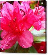 Raindrops Red Azaleas Art Prints Water Drops Azalea Flowers Acrylic Print