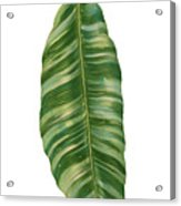 Rainforest Resort - Tropical Banana Leaf  Acrylic Print