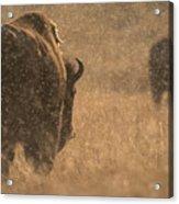 Rainy Bison Acrylic Print