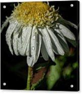 Rainy Daisy Acrylic Print