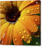Rainy Day Daisy Acrylic Print by Thomas R Fletcher