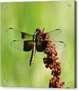 Rally Stripe Dragonfly 7 Acrylic Print